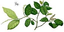 zotrim taimse kaalulanguse abi